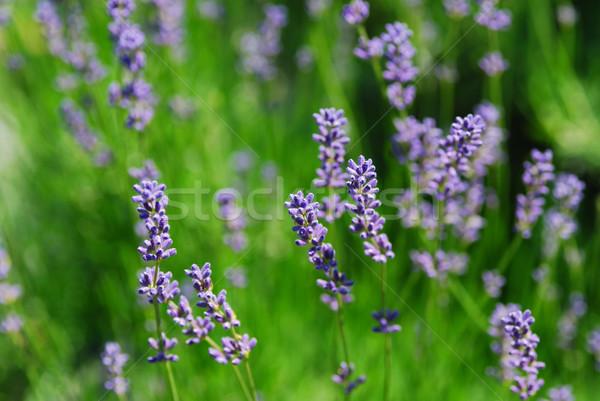 Piękna lawendy świeże pachnący wiosną kwiat Zdjęcia stock © thomaseder