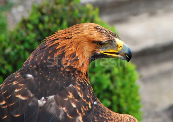 eagle Stock photo © thomaseder