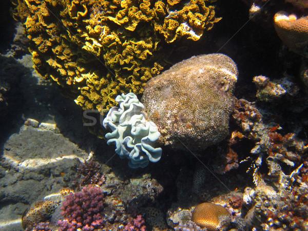 Stock fotó: Gyönyörű · korall · kék · fehér · Vörös-tenger · tengerpart