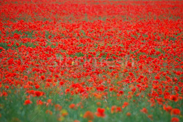 Stock fotó: Sok · piros · pipacsok · mező · tavasz · virág