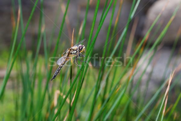 トンボ 座って ブレード 草 池 ストックフォト © thomaseder