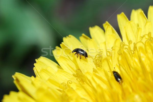 カブトムシ タンポポ 花 小 黒 咲く ストックフォト © thomaseder