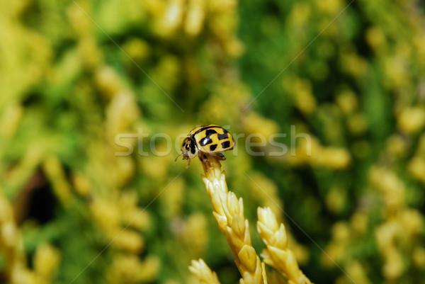 Stock fotó: Fekete · citromsárga · katicabogár · kicsi · katicabogár · borravaló