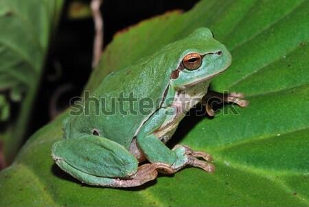Stock fotó: Közelkép · zöld · béka · kicsi · szem · erdő