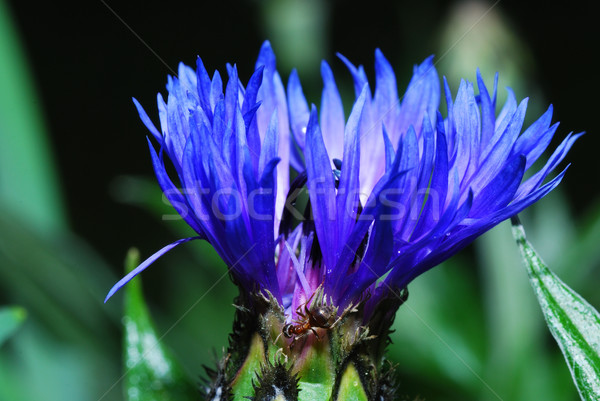 blue cornflower and ant Stock photo © thomaseder