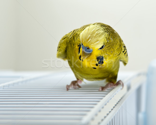 Angry Budgie Stock photo © thomland