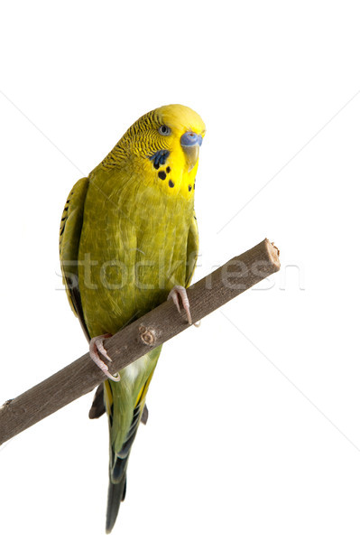 Budgie Stock photo © thomland