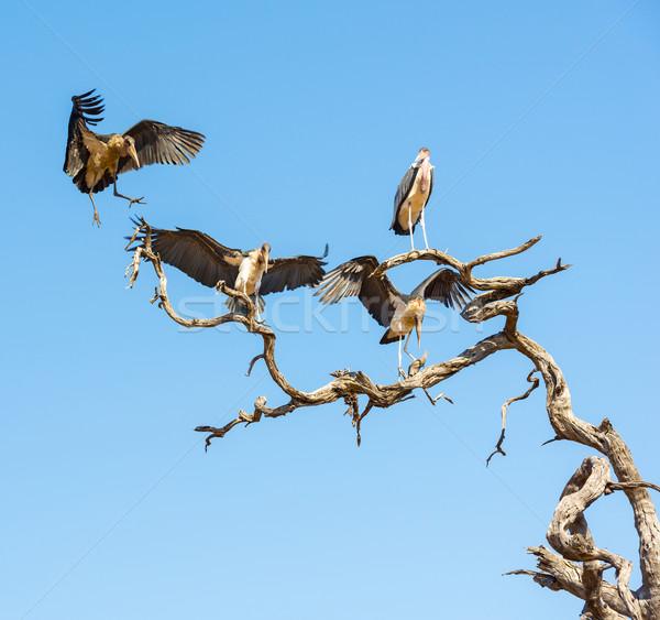 Ooievaar vogels vlucht blauwe hemel Botswana afrika Stockfoto © THP