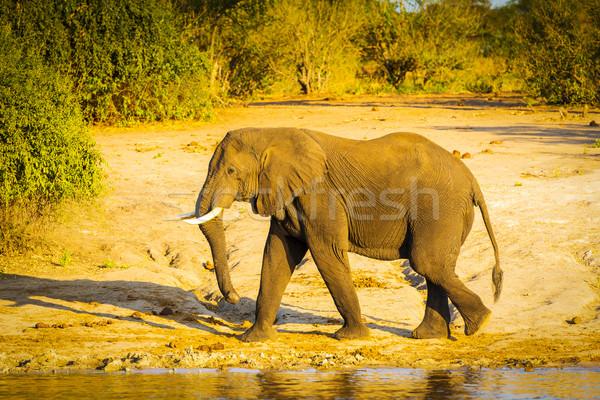 Bull Elephant Walking Along River Stock photo © THP