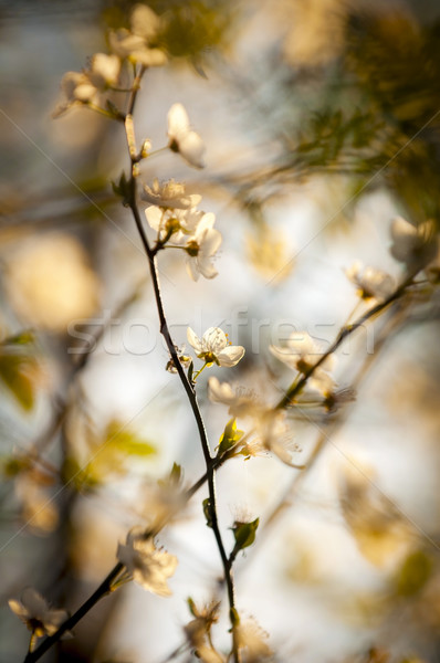 Cseresznyevirágzás gyönyörű késő délután napfény virágok Stock fotó © THP