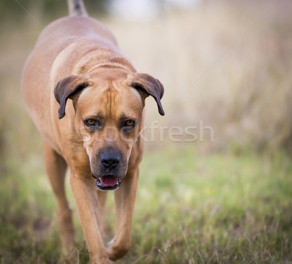 Boerboel Dog Stock photo © THP
