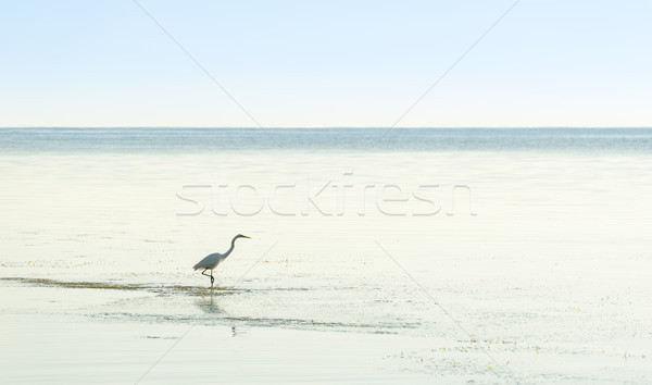 Egret In Tranquil Waters Stock photo © THP