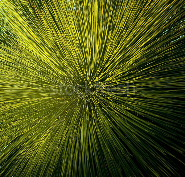 Grass Tree Detail Stock photo © THP