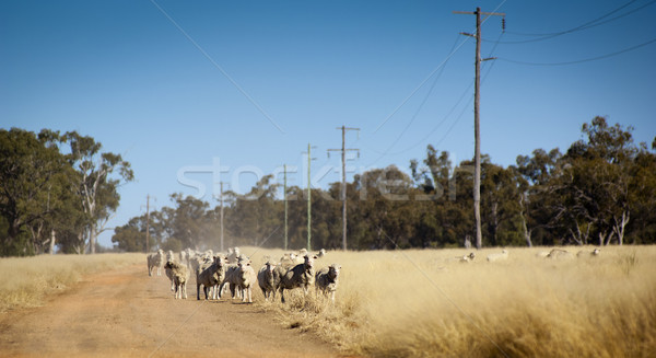 Australian Sheep Stock photo © THP