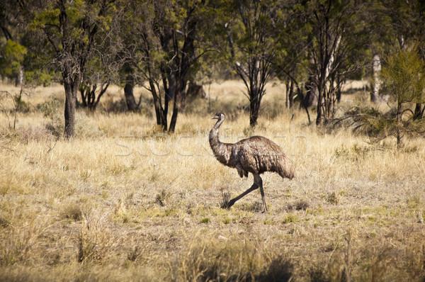 Wild Emu Stock photo © THP