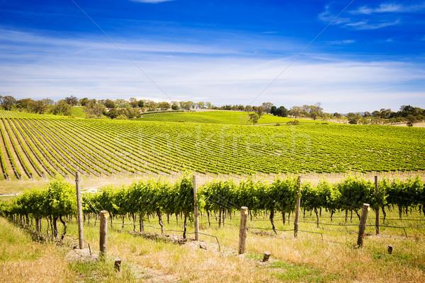 Vinha uvas crescente blue sky paisagem Foto stock © THP
