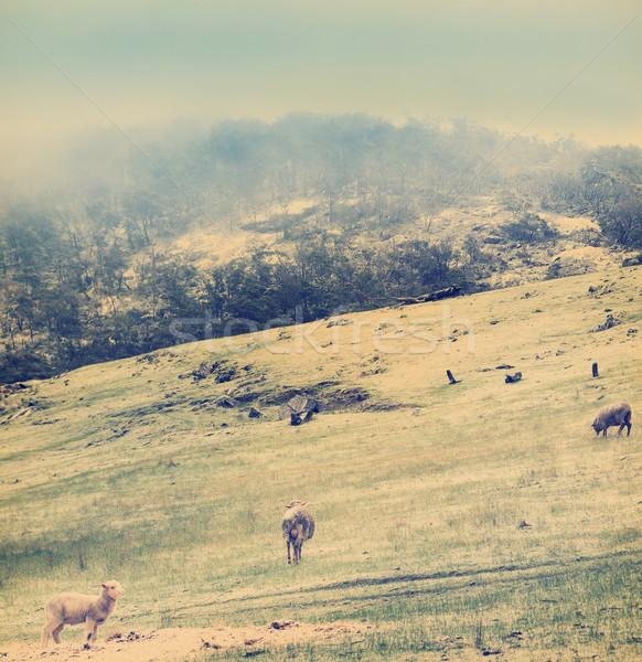 Winter Sheep Vintage Stock photo © THP