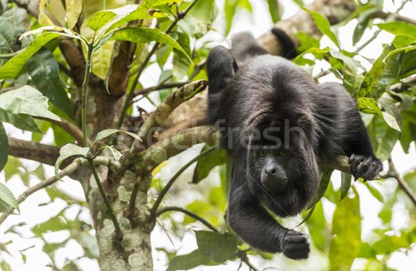 Black Howler Monkey Swinging From Trees Stock photo © THP