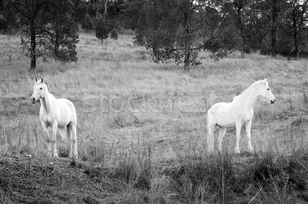 White Horses Stock photo © THP