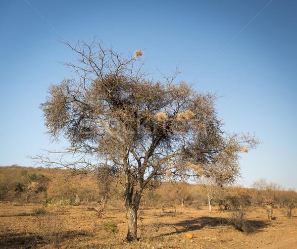 Ptaków Afryki ptaków starych wyschnięcia drzewo Zdjęcia stock © THP