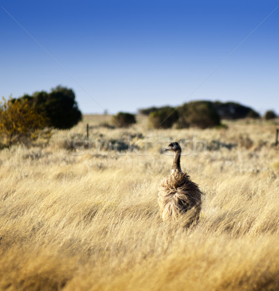 Wild Emu Stock photo © THP