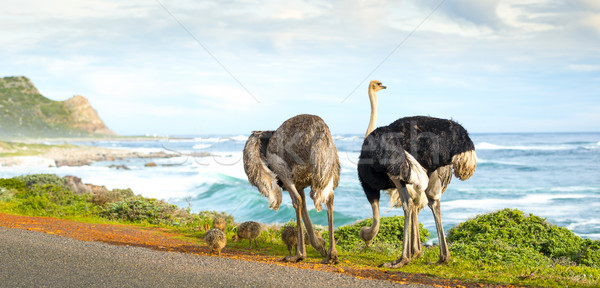Stock photo: Ostrich Family Panorama