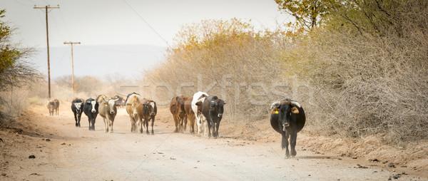 Sığırlar hareketli aşağı tozlu yol Stok fotoğraf © THP