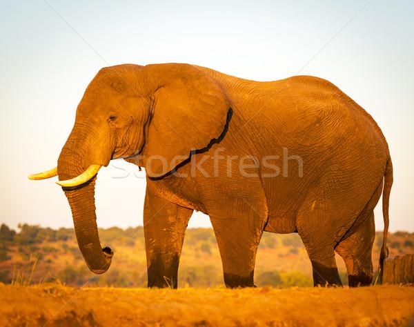 Elephant On Safari Stock photo © THP