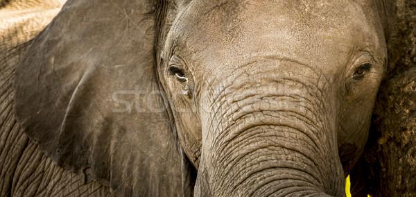 Elephant Portrait Close Up Stock photo © THP