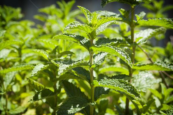Nane bahçe taze büyüyen doğa Stok fotoğraf © THP