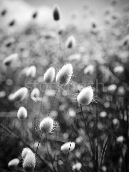 Arany mező sekély fókusz puha vad Stock fotó © THP