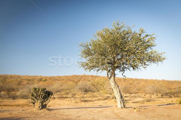 Drzewo Botswana Afryki klasyczny Afryki symbol Zdjęcia stock © THP