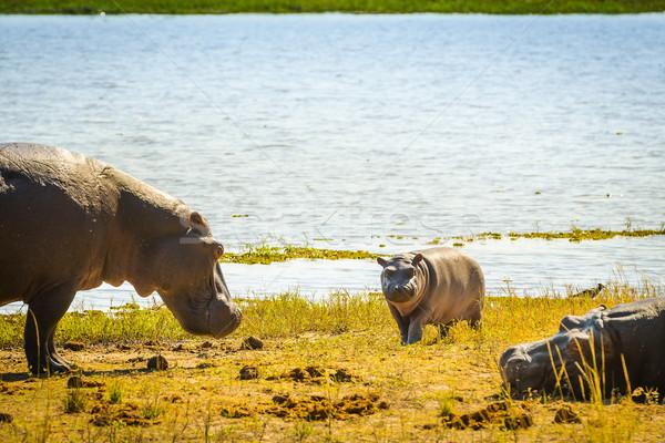 Hippopotamus Family Stock photo © THP