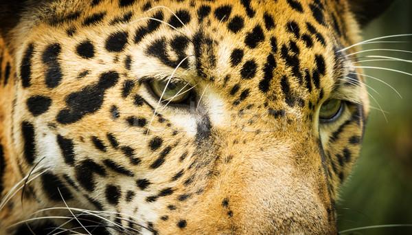 Jaguar кошки глазах красивой структур Сток-фото © THP