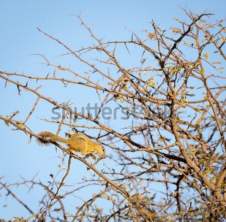 Stok fotoğraf: Ağaç · sincap · ağaçlar · Botsvana · Afrika