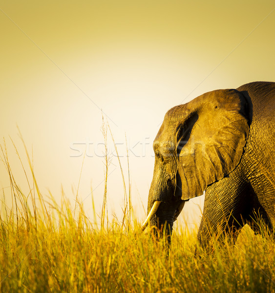 Elephant At Sunset In Long Grass Stock photo © THP