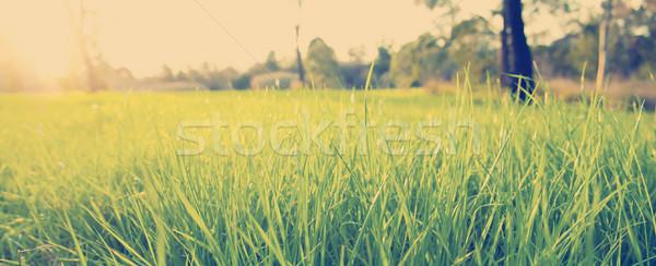Weelderig gras oog niveau groen gras heldere Stockfoto © THP