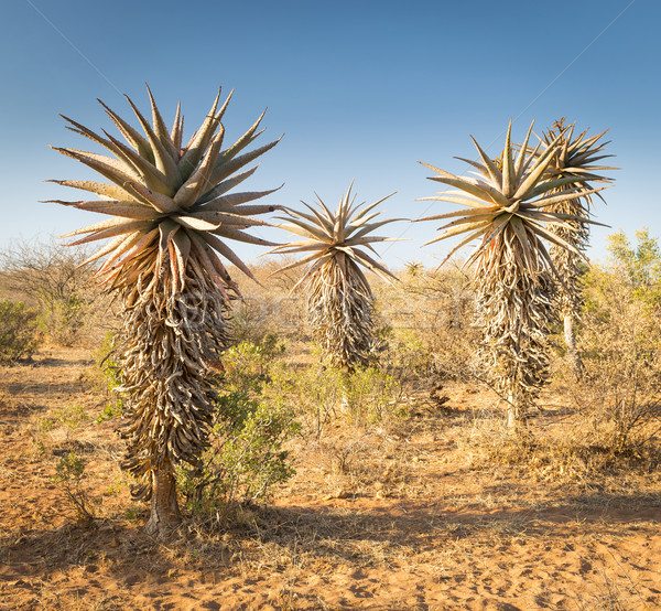 Aloe árboles Botswana creciente desierto Foto stock © THP