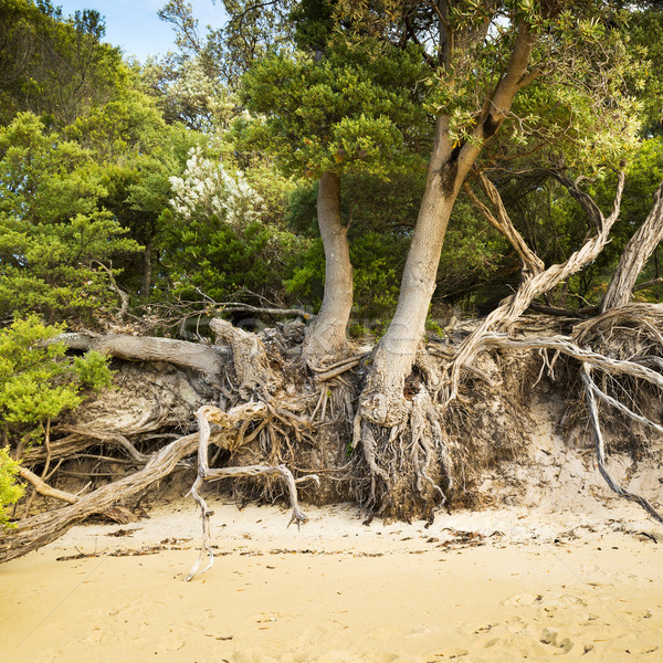 Tree Roots On Beach Stock photo © THP