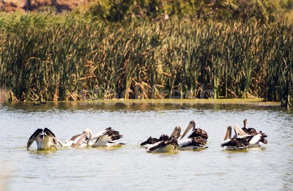 Pelicans Stock photo © THP