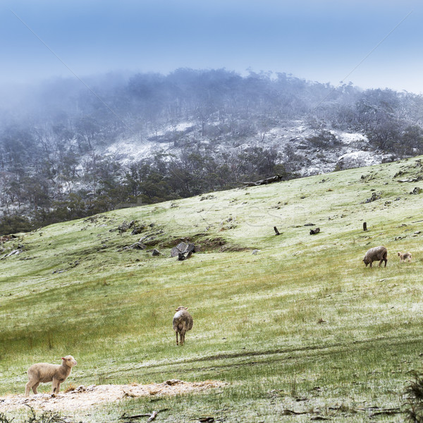 Winter Sheep Stock photo © THP