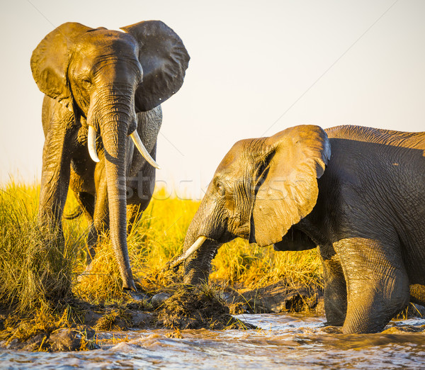 Stock photo: Elephants Playing In Mud
