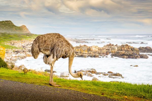 Ostrich Grazing Stock photo © THP
