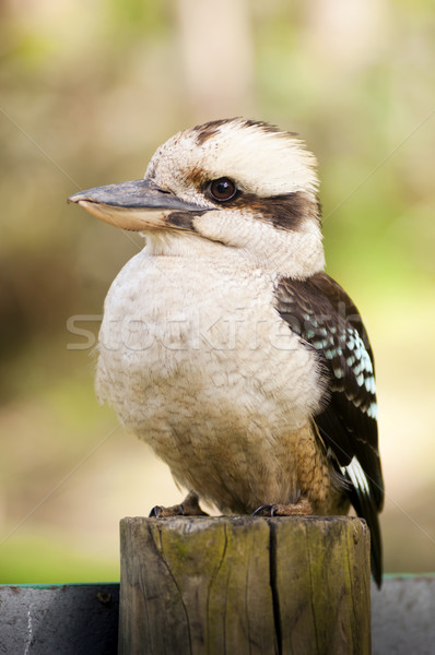 Kookaburra Stock photo © THP