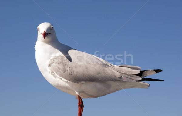 Seagull Stock photo © THP