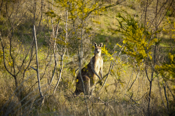 Kangaroo Stock photo © THP