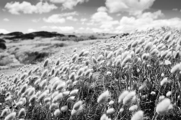 Golden Field Stock photo © THP