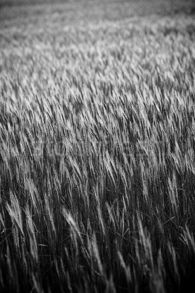 Grain Fields Stock photo © THP
