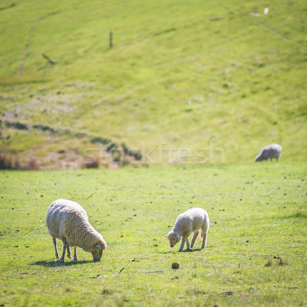 Grazing Sheep Stock photo © THP