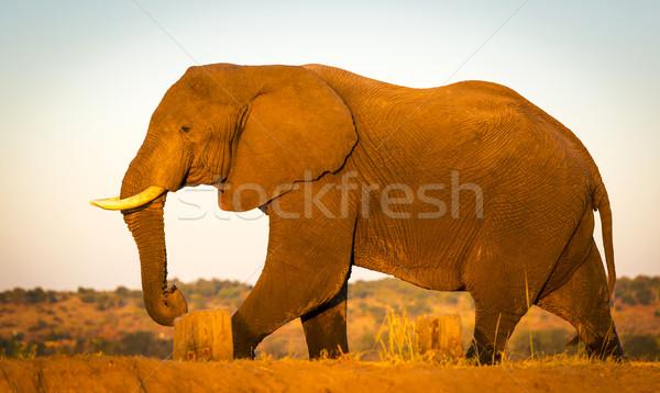 éléphant Safari énorme or coucher du soleil lumière Photo stock © THP